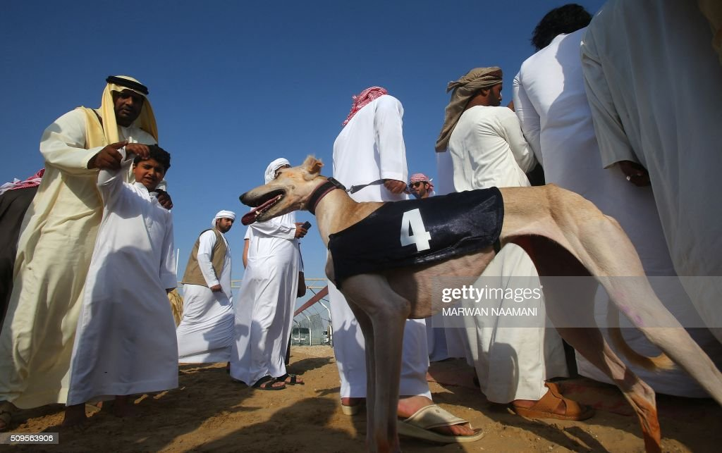 An Emirati man encourages his child to wave at an Arabian saluki dog named 'Barcelona' that won one of two races in the traditional annual dog racing event in Shweihan on the outskirts of Abu Dhabi on February 11, 2016. The race gives owners of Arabian pure-bred salukis the opportunity to test the abilities of their hounds in a traditional, natural desert setting. / AFP / MARWAN NAAMANI