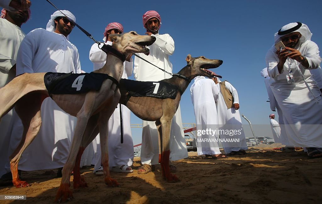 An Emirati man takes images with his mobile of Arabian saluki dogs 'Barcelona' (L) and 'Ibaad' (C) that won the two races in the traditional annual dog racing event in Shweihan on the outskirts of Abu Dhabi on February 11, 2016. The race gives owners of Arabian pure-bred salukis the opportunity to test the abilities of their hounds in a traditional, natural desert setting. / AFP / MARWAN NAAMANI