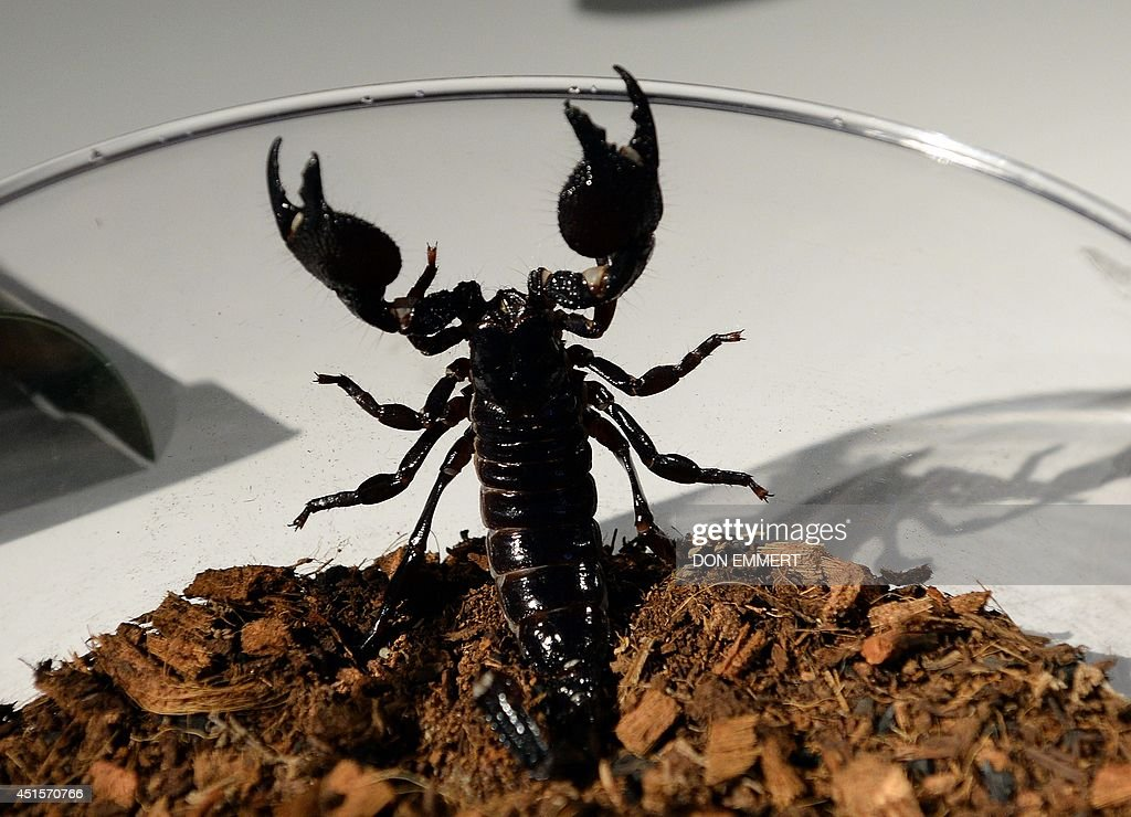 An Emperor scorpion wants out of a bowl during a media preview for 'Spiders Alive' July 1, 2014 at the American Museum of Natural History in New York. The museum has the largest collection of research spiders. AFP PHOTO/Don Emmert