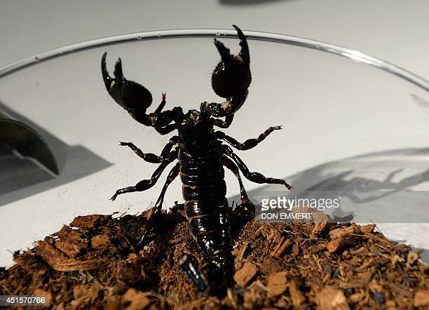 An Emperor scorpion wants out of a bowl during a media preview for 'Spiders Alive' July 1 2014 at the American Museum of Natural History in New York...