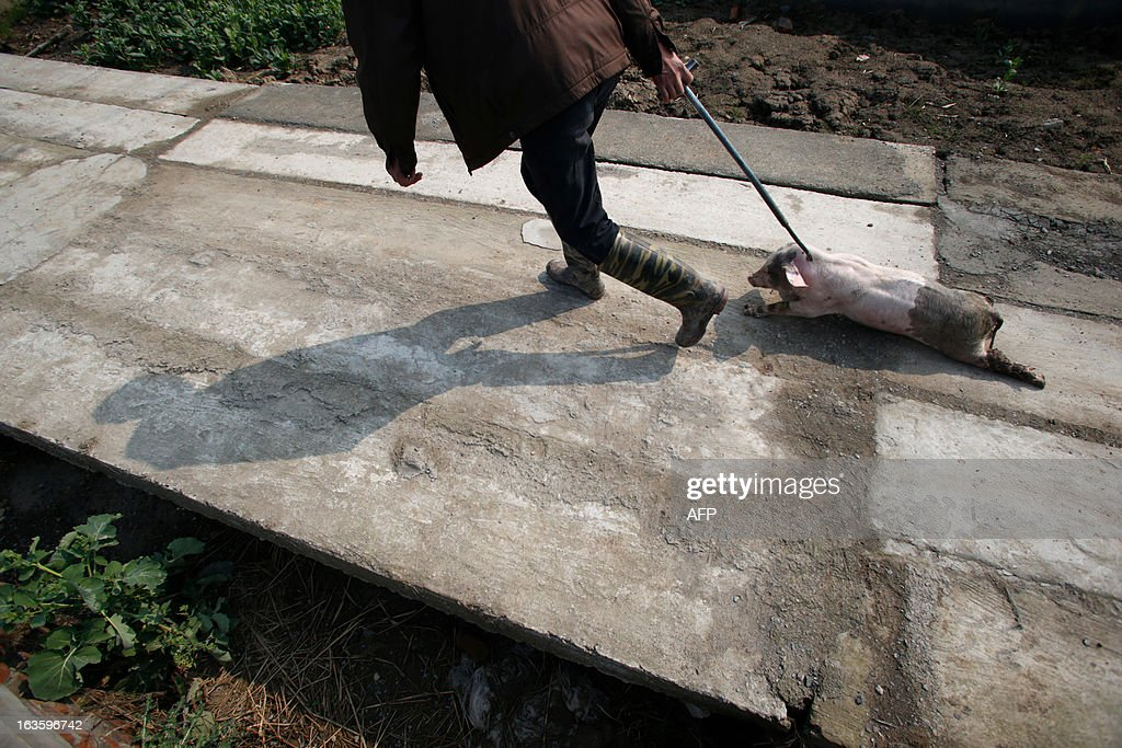 An employed villager drags a sick pig to a decontamination storage site in a town in Jiaxing municipality, east China's Zhejiang province on March 13, 2013. The number of dead pigs found in Shanghai's main river has doubled in two days to nearly 6,000, the government said, as residents worried over the water supply questioned the handling of the incident. Shanghai has pointed the finger at Jiaxing in the neighbouring province of Zhejiang, a major centre for hog-raising, but officials from the area sought to deny it was the source. CHINA OUT AFP PHOTO