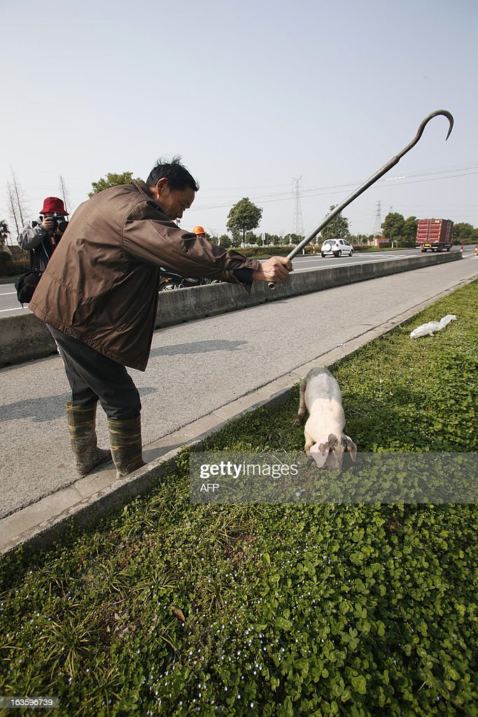 An employed villager prepares to drag a sick pig to a decontamination storage site in a town in Jiaxing municipality, east China's Zhejiang province on March 13, 2013. The number of dead pigs found in Shanghai's main river has doubled in two days to nearly 6,000, the government said, as residents worried over the water supply questioned the handling of the incident. Shanghai has pointed the finger at Jiaxing in the neighbouring province of Zhejiang, a major centre for hog-raising, but officials from the area sought to deny it was the source. CHINA