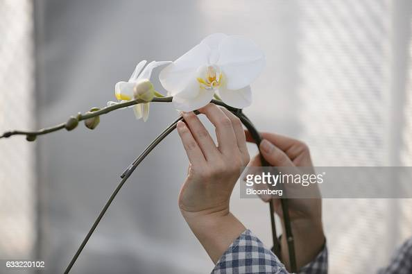 An employee affixes an orchid to a metal stake in a greenhouse at Ushimura Orchid Farm a supplier to ArtGreen Co in Ebina City Kanagawa Prefecture...