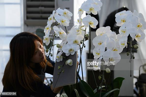 An employee affixes an orchid to a plant stake in a greenhouse at Ushimura Orchid Farm a supplier to ArtGreen Co in Ebina City Kanagawa Prefecture...
