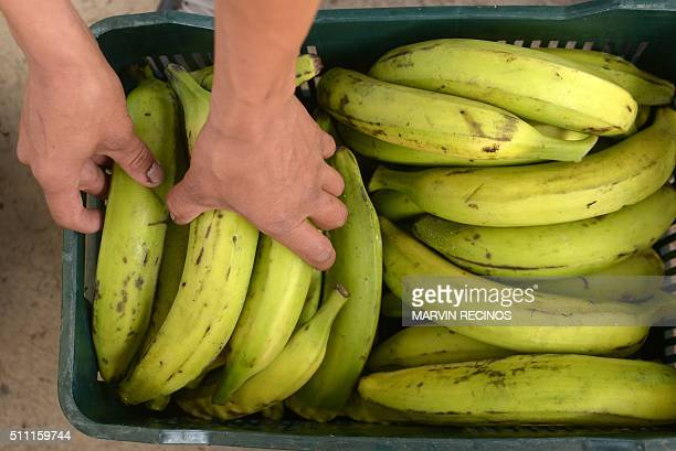 An employee arranges plantains at the newly inaugurated fruit dehydration and plantain packing plant in the San Rafael Cooperative in El Paisnal 38...