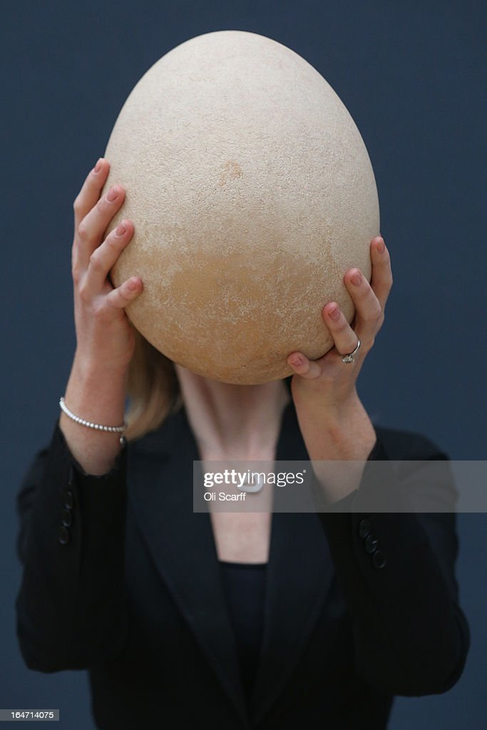 An employee at Christie's auction house examines a complete sub-fossilised elephant bird egg on March 27, 2013 in London, England. The elephant bird egg is expected to fetch 30,000 GBP when it features in Christie's 'Travel, Science and Natural History' sale, which is to be held on April 24, 2013 in London.