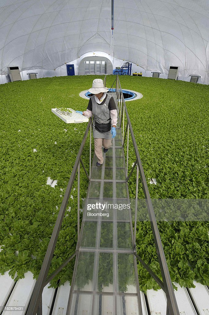 An employee carries lettuce seedlings in a vegetable plant at Granpa Farm Rikuzentakata, in Rikuzentakata City, Iwate Prefecture, Japan, on Wednesday, Sept. 26, 2012. A total of 8 dome-shaped hydroponic vegetable plants operated by Granpa Farm Rikuzentakata, a group farming subsidiary of Granpa Co. which was opened last month as part of the region's reconstruction efforts in an area damaged by the tsunami following the earthquake on March 11, 2011, produces 3,600 heads of lettuce a day. Photographer: Akio Kon/Bloomberg via Getty Images