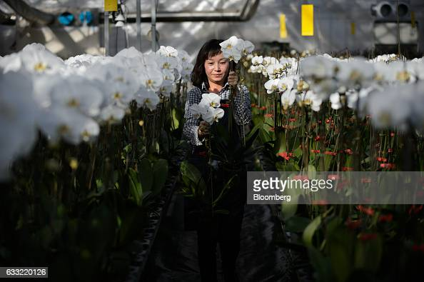 An employee carries orchids in a greenhouse at Ushimura Orchid Farm a supplier to ArtGreen Co in Ebina City Kanagawa Prefecture Japan on Friday Jan 6...