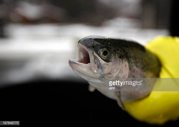 An employee catches a rainbow trout at the oldest trout farm in Lillafured some 200 kms from Budapest on December 10 2010 Built in 1932 the trout...