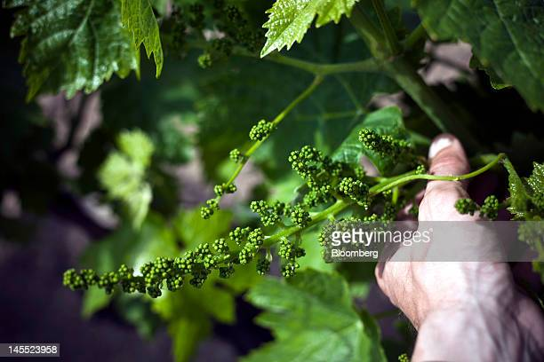 An employee checks a cluster of the 'UgniBlanc' grape used in the making of Fine Champagne Cognac at the Remy Cointreau SA vineyard in Cognac France...