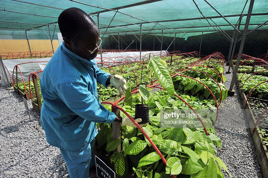 An employee checks cocoa plants in a research centre on November 23, 2012 in Abidjan, as Ivory Coast's capital city hosted world players in the cocoa business for a conference on how to face up to the challenges posed by soaring demand. The London-based International Cocoa Organisation (ICCO) organised until November 23 what it says is the first World Cocoa Conference to discuss a sustainable future for the industry in the face of growing demand.