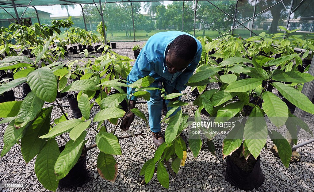 An employee checks cocoa plants in a research centre on November 23, 2012 in Abidjan, as Ivory Coast's capital city hosted world players in the cocoa business for a conference on how to face up to the challenges posed by soaring demand. The London-based International Cocoa Organisation (ICCO) organised until November 23 what it says is the first World Cocoa Conference to discuss a sustainable future for the industry in the face of growing demand. AFP PHOTO / ISSOUF SANOGO