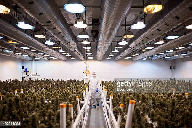 An employee checks nearly matured medical marijuana plants in a climate controlled growing room at the Tweed Inc facility in Smith Falls Ontario...