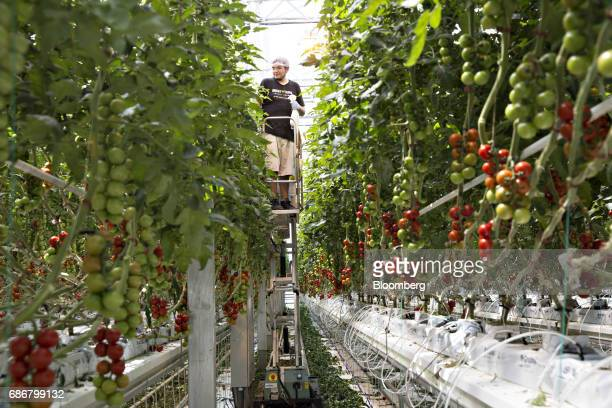 An employee checks on miniature tomato plants at the BrightFarms Inc Chicagoland greenhouse in Rochelle Illinois US on Friday May 12 2017 The...