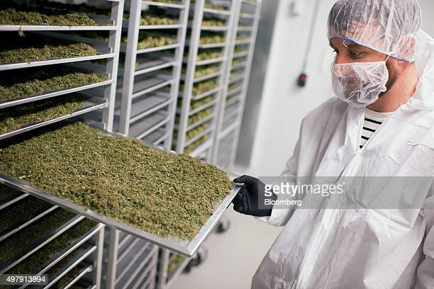An employee displays a tray of medical marijuana plant cuttings drying preparation for the oil extraction process at the Tweed Inc facility in Smith...