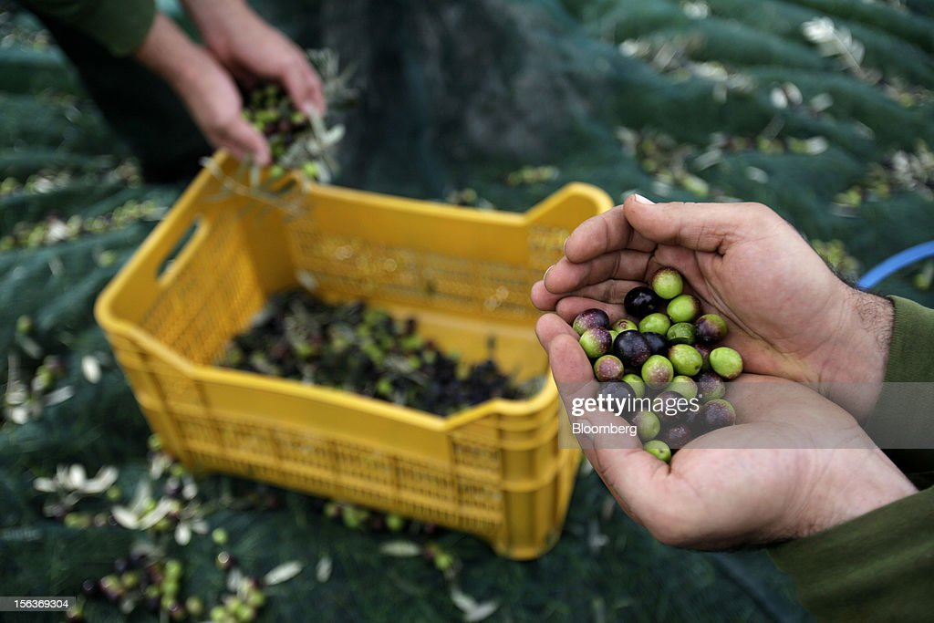 An employee displays freshly-picked olives during harvesting in the grounds of Industria Olearia Biagio Mataluni Srl's factory in Montesarchio near Benevento, Italy, on Monday, Nov. 12, 2012. Italian olive-oil exports rose 5.7 percent to a record last year, boosted by demand from the U.S. as well as France and Germany, agricultural-markets researcher Ismea said. Photographer: Alessia Pierdomenico/Bloomberg via Getty Images
