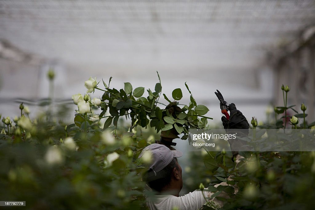 An employee gathers roses at the Dramm & Echter growing facility in Encinitas, California, U.S., on Tuesday, Nov. 12, 2013. The U.S. Census Bureau is scheduled to release wholesale inventories figures on Nov. 15. Photographer: Sam Hodgson/Bloomberg via Getty Images