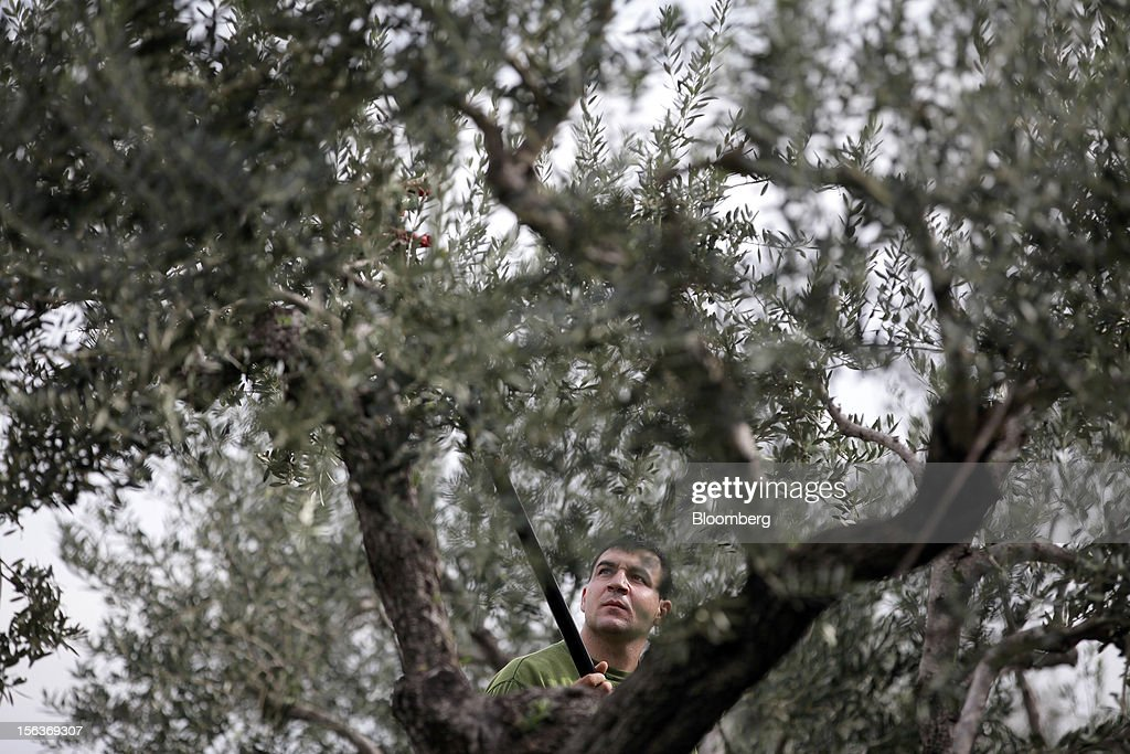 An employee harvests olives in the grounds of Industria Olearia Biagio Mataluni Srl's factory in Montesarchio near Benevento, Italy, on Monday, Nov. 12, 2012. Italian olive-oil exports rose 5.7 percent to a record last year, boosted by demand from the U.S. as well as France and Germany, agricultural-markets researcher Ismea said. Photographer: Alessia Pierdomenico/Bloomberg via Getty Images