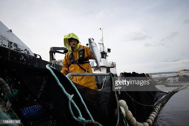 FRENCH 'LE SEUL ELEVAGE DE SAUMONS EN MER EN FRANCE REGARDE LES NORVEGIENS DE HAUT' An employee holds a salmon at the salmon breeding farm 'Saumon de...