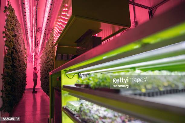 An employee inspects a wall of kale and greens growing vertically inside a modular farming unit at Modular Farms Co headquarters in Brampton Ontario...