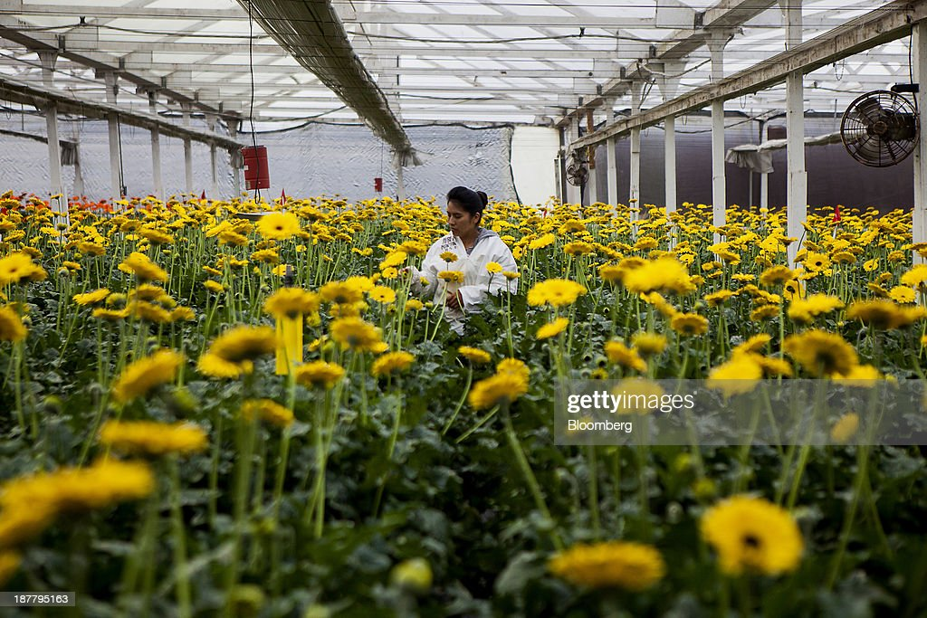 An employee inspects gerbera flowers at the Dramm & Echter growing facility in Encinitas, California, U.S., on Tuesday, Nov. 12, 2013. The U.S. Census Bureau is scheduled to release wholesale inventories figures on Nov. 15. Photographer: Sam Hodgson/Bloomberg via Getty Images