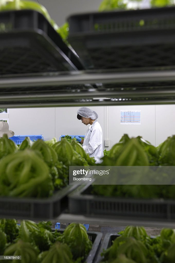 An employee inspects harvested lettuce in a vegetable plant at Granpa Farm Rikuzentakata, in Rikuzentakata City, Iwate Prefecture, Japan, on Wednesday, Sept. 26, 2012. A total of 8 dome-shaped hydroponic vegetable plants operated by Granpa Farm Rikuzentakata, a group farming subsidiary of Granpa Co. which was opened last month as part of the region's reconstruction efforts in an area damaged by the tsunami following the earthquake on March 11, 2011, produces 3,600 heads of lettuce a day. Photographer: Akio Kon/Bloomberg via Getty Images