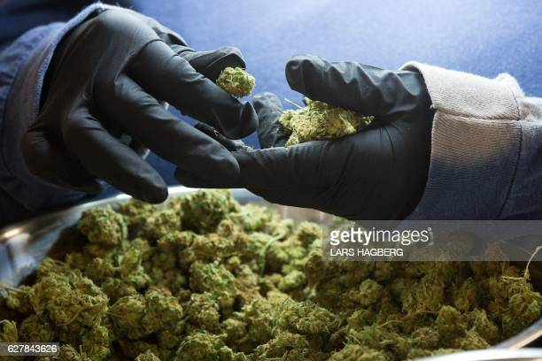 An employee inspects medicinal marijuana buds at Tweed INC in Smith Falls Ontario on Monday December 5 2016 / AFP / Lars Hagberg