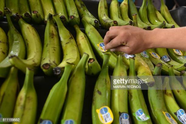 An employee labels plantains at the newly inaugurated fruit dehydration and plantain packing plant in the San Rafael Cooperative in El Paisnal 38 km...