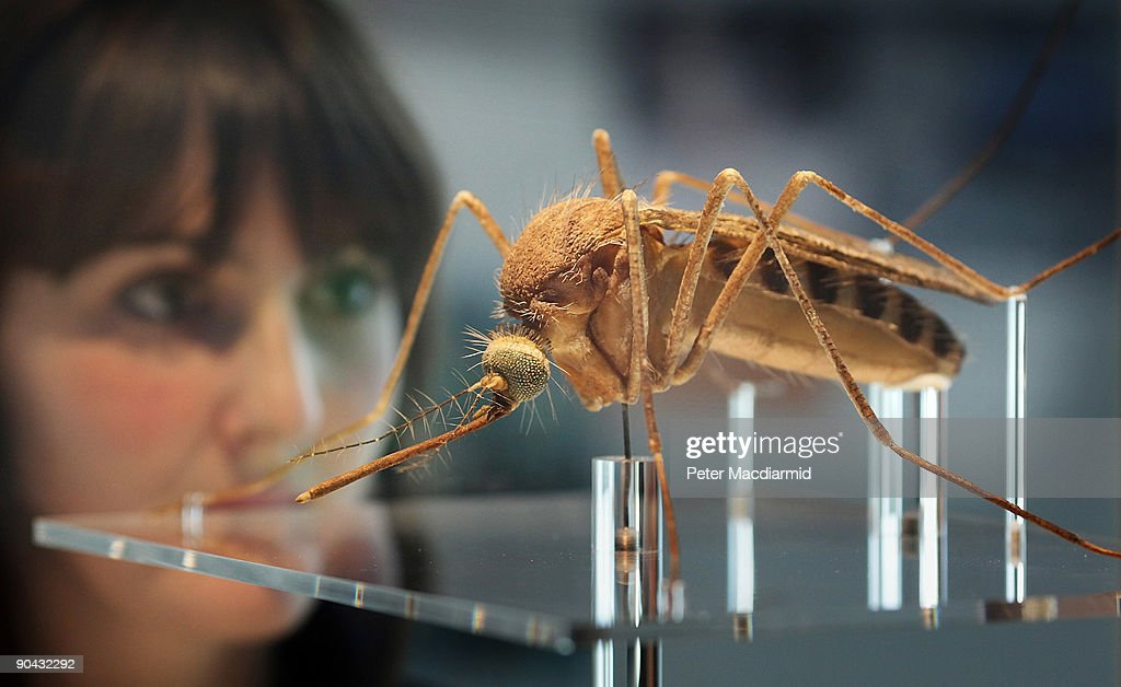 An employee looks at a giant representation of a mosquito at the Darwin Centre at The Natural History Museum on September 8 2009 in London England...