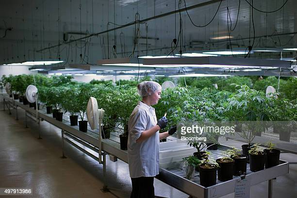 An employee makes cuttings from a mother plant to grow new medical marijuana plants at the Tweed Inc facility in Smith Falls Ontario Canada on Nov 11...