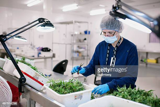 An employee manually trims medical marijuana plants at the Tweed Inc facility in Smith Falls Ontario Canada on Nov 11 2015 Construction and marijuana...