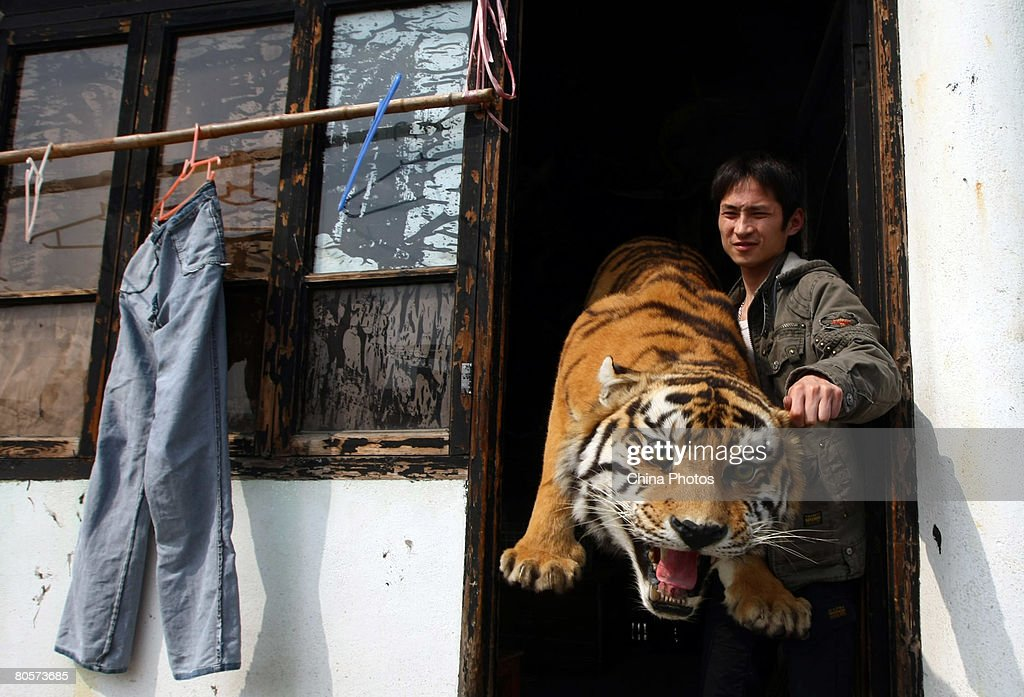 An employee moves a tiger specimen at the Jinzhou Animal Museum on April 9, 2008 in Wenzhou of Zhejiang Province, China. Jinzhou Animal Museum is a private animal specimen museum established in 1997 by taxidermist Liu Ming. The museum now has over 120,000 specimens from over than 6,000 species including animals and plants.