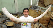 An employee of Philippine's Protected Areas and Wildlife Bureau displays part of the 131 tonnes of Tanzanian elephant tusks seized from smugglers in...