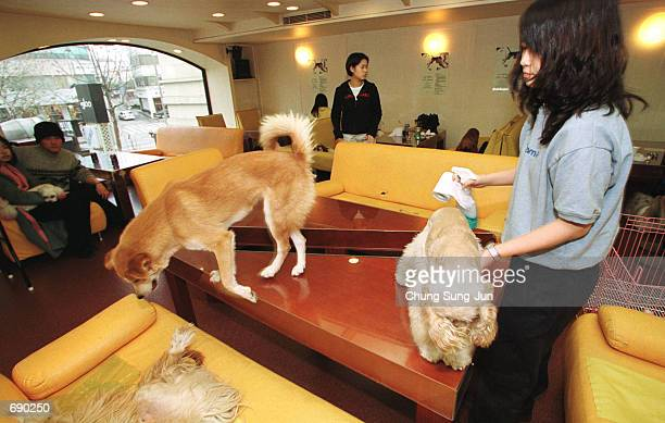 An employee of the only dog friendly cafe the igloo plays with patrons'' dogs January 14 2002 in Seoul South Korea Promoters of the culinary...