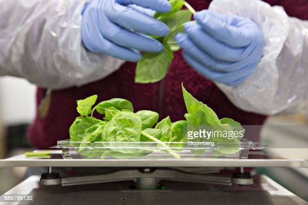 An employee packages lemon basil at the BrightFarms Inc Chicagoland greenhouse in Rochelle Illinois US on Friday May 12 2017 The BrightFarms...