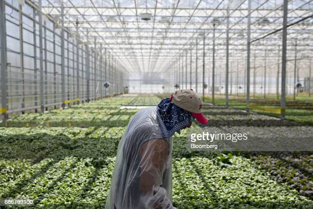 An employee passes in front of produce growing in hydroponic pools at the BrightFarms Inc Chicagoland greenhouse in Rochelle Illinois US on Friday...