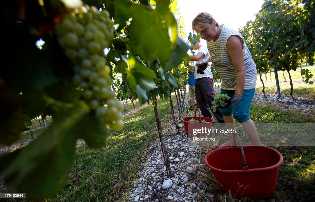 An employee places a freshly picked bunch of grapes, grown for their use in Prosecco wine, into a bucket on the first day of the grape harvest at I Magredi vineyard in Pordenone, Italy, on Tuesday, Sept. 3, 2013. Italy's Agriculture Ministry has begun to investigate suspected sales of imitation Prosecco sparkling wine in its native Veneto region. Photographer: Alessia Pierdomenico/Bloomberg via Getty Images