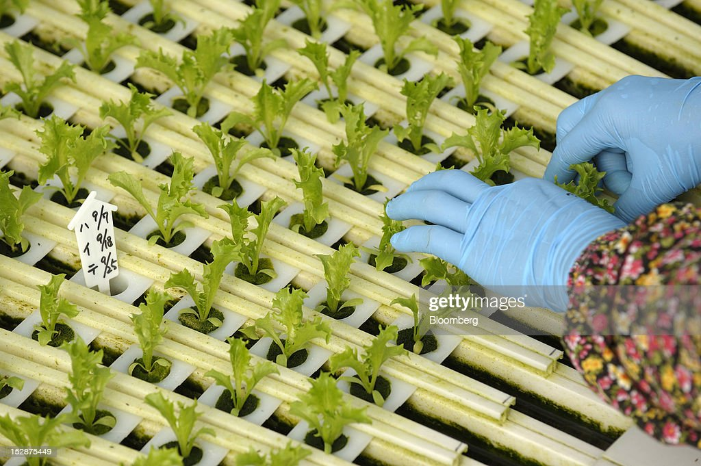 An employee plants lettuce seedlings in a vegetable plant at Granpa Farm Rikuzentakata, in Rikuzentakata City, Iwate Prefecture, Japan, on Wednesday, Sept. 26, 2012. A total of 8 dome-shaped hydroponic vegetable plants operated by Granpa Farm Rikuzentakata, a group farming subsidiary of Granpa Co. which was opened last month as part of the region's reconstruction efforts in an area damaged by the tsunami following the earthquake on March 11, 2011, produces 3,600 heads of lettuce a day. Photographer: Akio Kon/Bloomberg via Getty Images