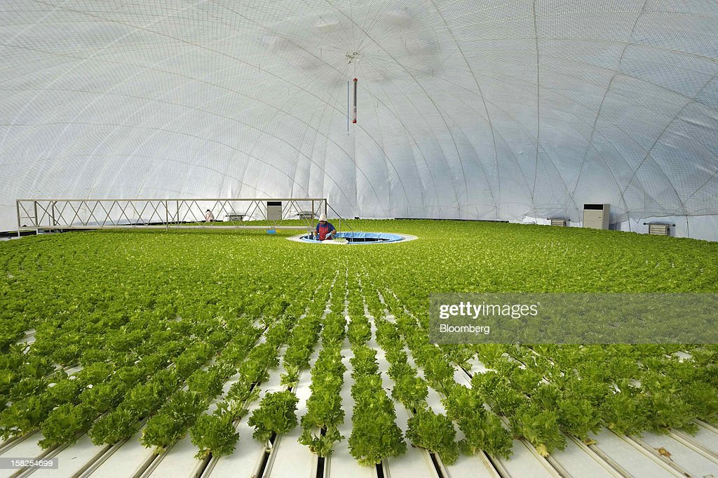 'BEST PHOTOS OF 2012' (): An employee plants lettuce seedlings in a vegetable plant at Granpa Farm Rikuzentakata, in Rikuzentakata City, Iwate Prefecture, Japan, on Wednesday, Sept. 26, 2012. A total of 8 dome-shaped hydroponic vegetable plants operated by Granpa Farm Rikuzentakata, a group farming subsidiary of Granpa Co. which was opened last month as part of the region's reconstruction efforts in an area damaged by the tsunami following the earthquake on March 11, 2011, produces 3,600 heads of lettuce a day. Photographer: Akio Kon/Bloomberg via Getty Images