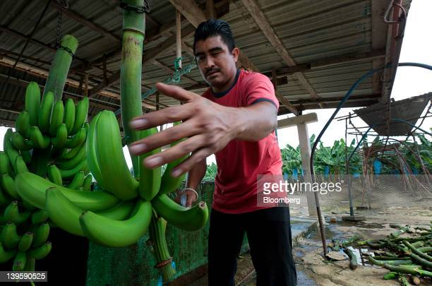 An employee removes freshly harvested bananas from the pulley system that brings the them in from the field at Farm 18 in Stann Creek Belize on...