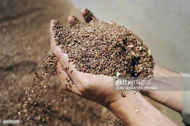 An employee shows linseed at the 'Valorex' animal food plant in Combourtille western France on September 12 2014 Valorex is a feedstuff factory...