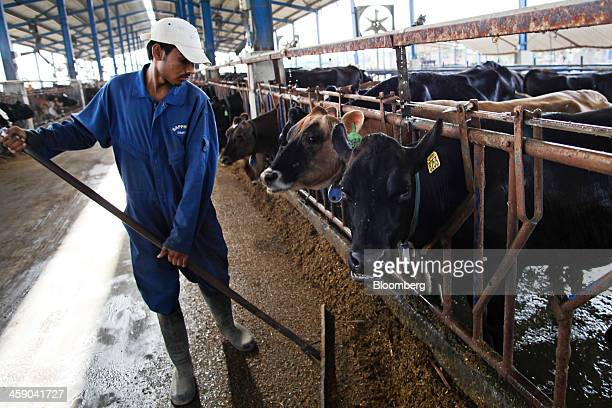 An employee sweeps up feed as dairy cows eat in a cattle feed shed at the Sapphire Dairies Ltd farm operated by Sapphire Group in the Manga area of...