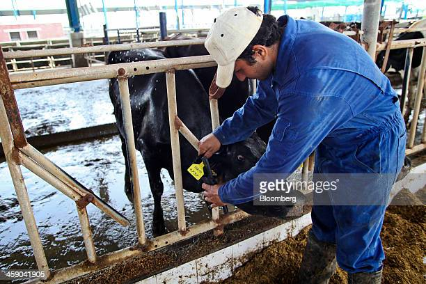 An employee tags a dairy cow in a cattle feed shed at the Sapphire Dairies Ltd farm operated by Sapphire Group in the Manga area of Lahore Pakistan...