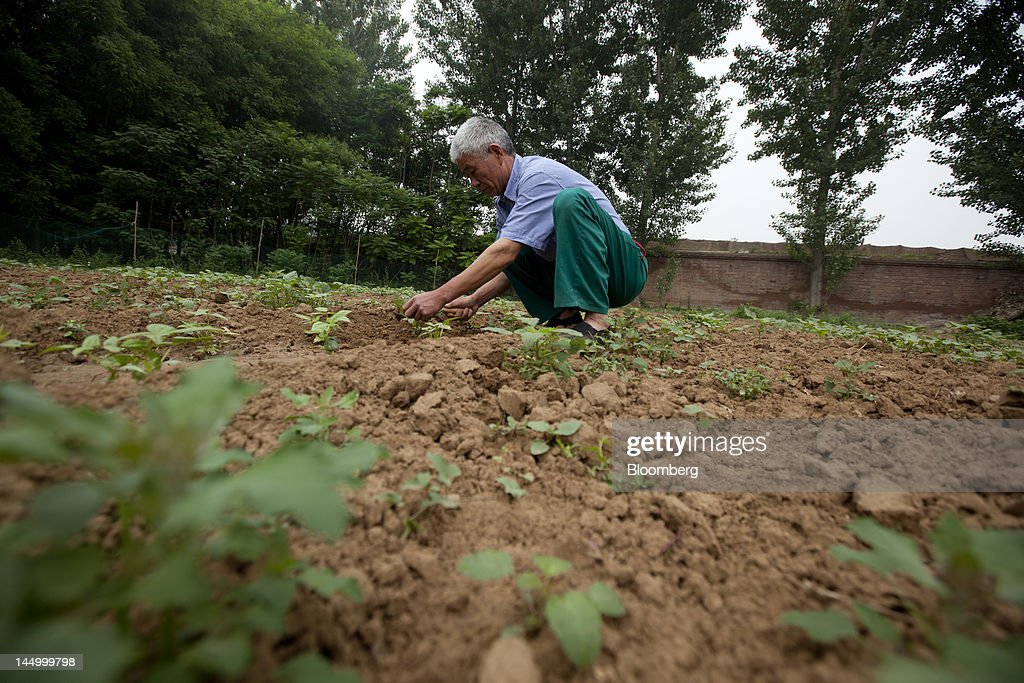An employee tends to capsicum seedlings at a farm that practices organic farming techniques in Beijing, China, on Tuesday, May 22, 2012. China's farmland shrank 8.33 million hectares (20.6 million acres) in the past 12 years, Chen Xiwen, Premier Wen Jiabao's top agriculture adviser, said last year. Photographer: Nelson Ching/Bloomberg via Getty Images
