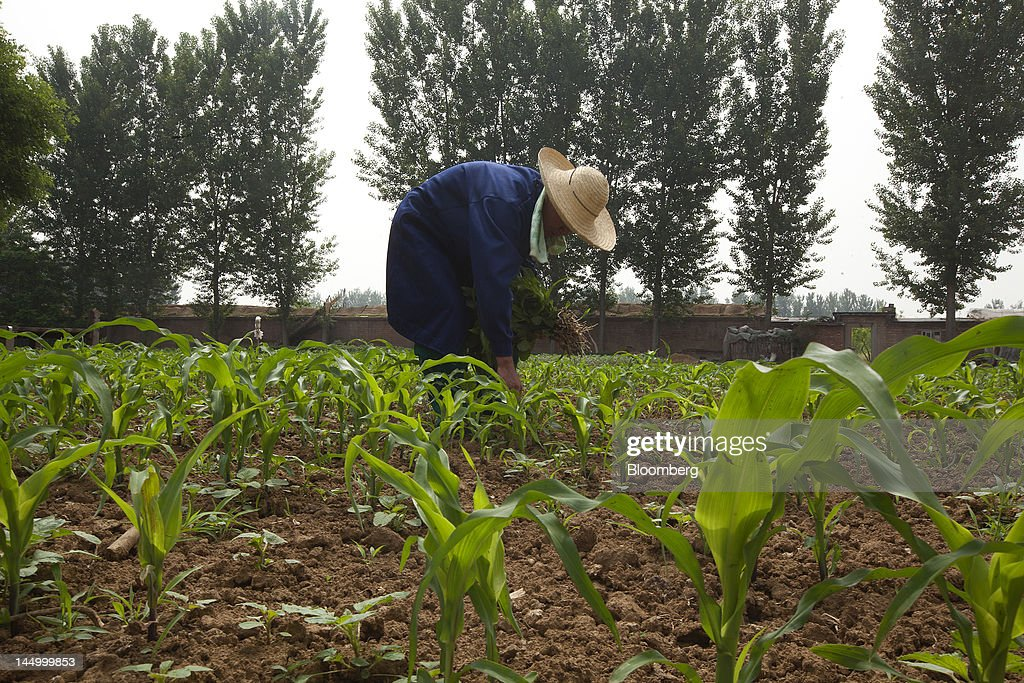 An employee tends to corn at a farm that practices organic farming techniques in Beijing, China, on Tuesday, May 22, 2012. China's farmland shrank 8.33 million hectares (20.6 million acres) in the past 12 years, Chen Xiwen, Premier Wen Jiabao's top agriculture adviser, said last year. Photographer: Nelson Ching/Bloomberg via Getty Images