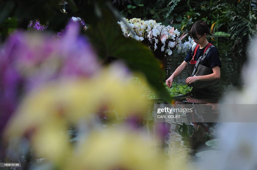 An employee tends to Moth Orchids during a photocall to mark the opening of the Orchids display in the Princess of Wales Conservatory at Kew Royal Botanic Gardens in west London on February 7, 2013. The Orchids display will run from February 9 to March 3, 2013.