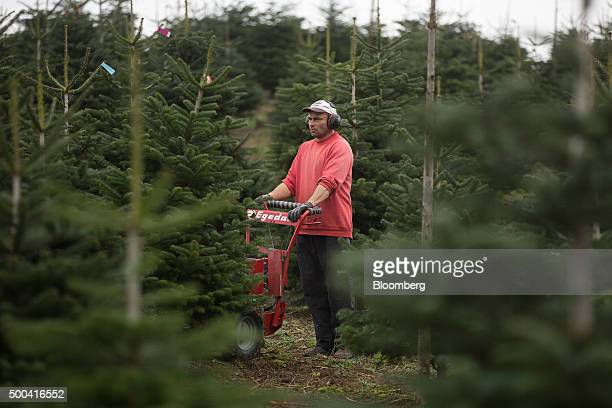 An employee uses a machine to cut Christmas trees at Santa Fir Christmas Tree Farm near Guildford UK on Monday Dec 7 2015 With inflation stagnant and...