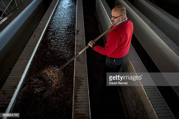 An employee washes 'chufas' after being harvested on January 18 2016 in Valencia Spain According to the Valencia's Tiger Nut Regulatory Council the...