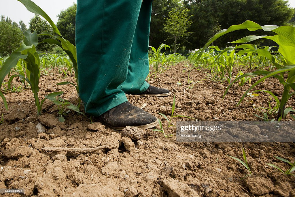 An employee wearing traditional Chinese shoes stands next to corn growing in a field in Beijing, China, on Tuesday, May 22, 2012. China's farmland shrank 8.33 million hectares (20.6 million acres) in the past 12 years, Chen Xiwen, Premier Wen Jiabao's top agriculture adviser, said last year. Photographer: Nelson Ching/Bloomberg via Getty Images