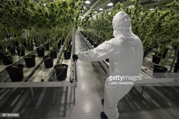 An employee with medicinal marijuana plants in the flowering room at Tweed INC in Smith Falls Ontario on December 5 2016 / AFP / Lars Hagberg